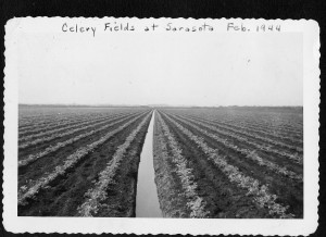 Eicher celery field