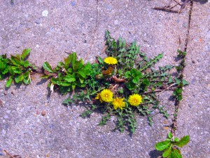 dandelion growing between concrete blocks