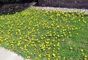 Dandelion bursting forth at College  Mennonite Church