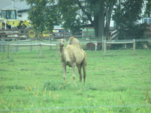 One Amish farmer is experimenting with growing camels