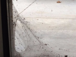 Picture of web formed by spider and wind in the outside corner of the window at Door 6