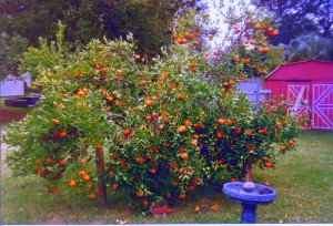 Navel Orange Tree given by North Tampa Mennonite Church loaded with so much fruit the limbs may break if unpropped